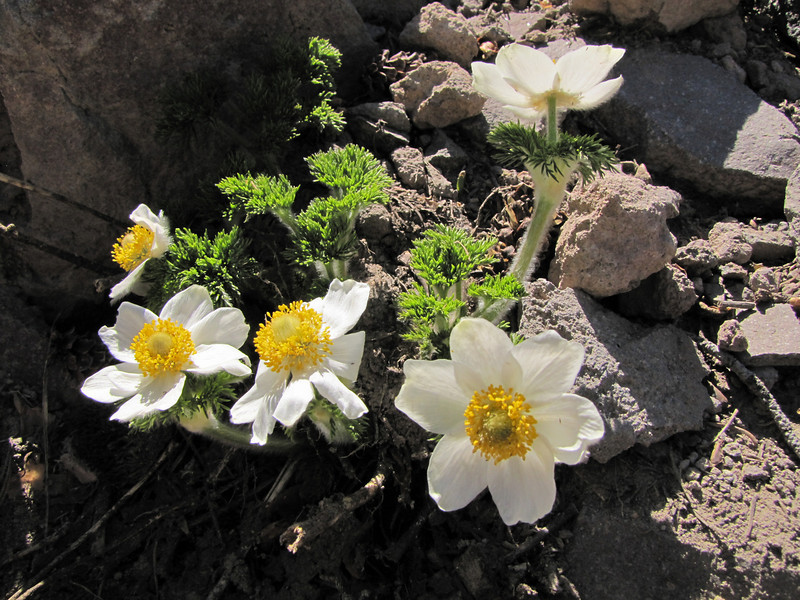Anemone occidentalis (between Lost Creek Campground and Caldera Road, just before junction, Crater Lake National Park, Oregon)