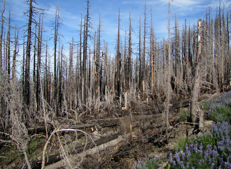 Destroyed forest by fire (along road to Cloud Cap Campground, Mount Hood)