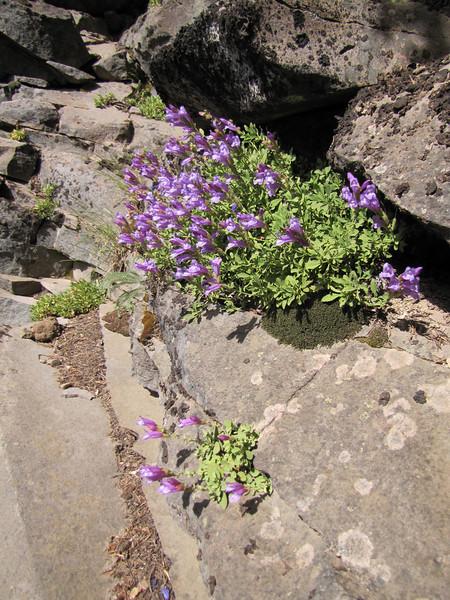 Penstemon cf. rupicola x davidsonii  (along road to Cloud Cap Campground, Mount Hood)