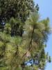 Pinus ponderosa (3 needles) (south of Masama Village, Oregon)