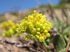 Eriogonum umbellatum? Mount Scot 2721m) highest point in Crater Lake National Park