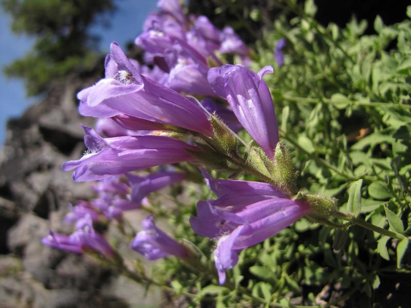 close up Penstemon cf. rupicola x davidsonii  (along road to Cloud Cap Campground, Mount Hood)