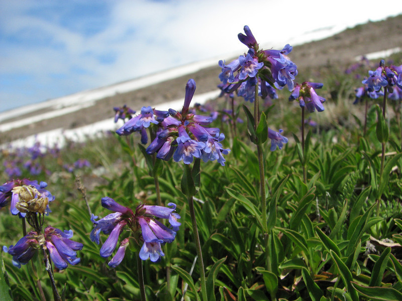 Penstemon procerus? (Mountaineer Trail, Mount Hood, Oregon)