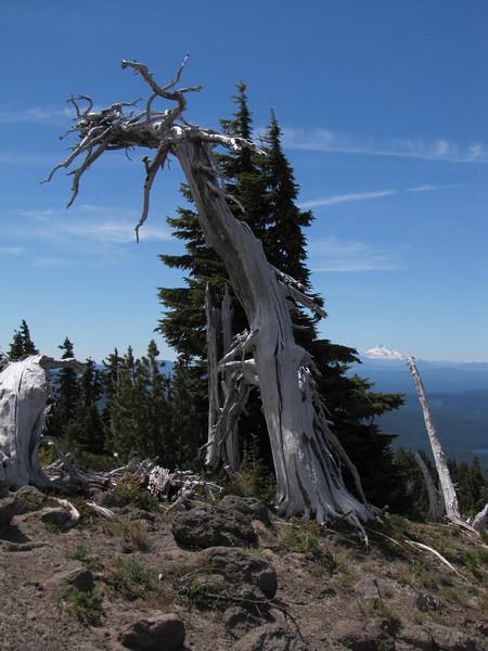 Tsuga mertensiana, Treeline (Mountaineer Trail, Mount Hood, Oregon) in the background Mt. Jefferson 3199m, Washington