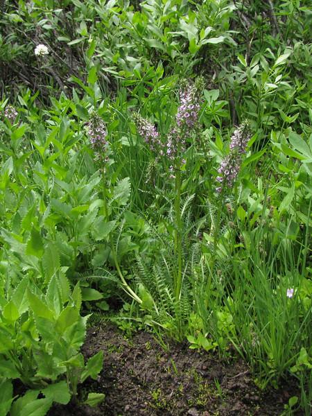 Pedicularis groenlandica, Elephant's head lousewort, (Wildflower Trail, Castle Crest Wildflower Garden, Crater Lake National Park, Oregon)