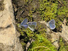 Lycaena heteronea, Blue Copper (NL: blauwtje) (Bigelow Lakes Trail, Oregon Caves National Monument)