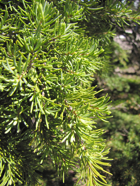 Tsuga mertensiana (near Timberline Lodge, mountaineer Trail, Mount Hood)