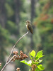 Selasphorus rufus, Rufous Hummingbird (Bigelow Lakes Trail, Oregon Caves National Monument)