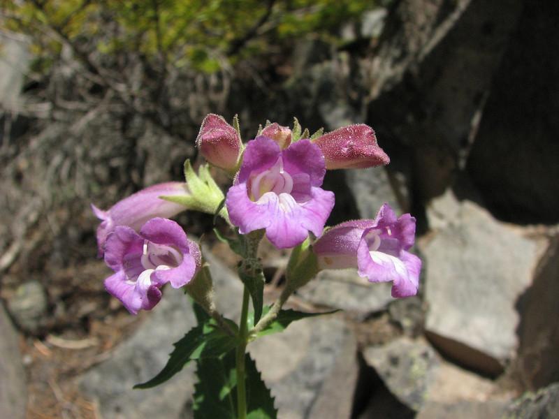 Nothochelone nemorosus (along road to Cloud Cap Campground, Mount Hood)