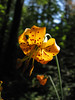 Lilium columbianum  (Near Rhododendron, not far from Mount Hood, Oregon)