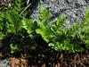 Cryptogramma crispa ? sterile leafs (between Bigelow Lake and Mount Elijah 1929m, Oregon Caves National Monument)(photo Kees Jan)
