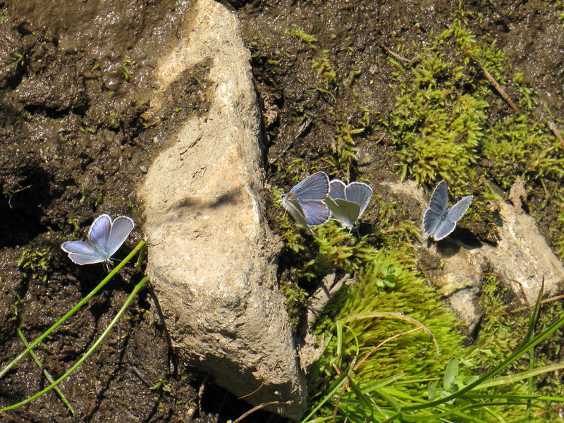 Lycaena heteronea, Blue Copper (NL: blauwtje) (Bigelow Lakes Trail, Oregon Caves National Monument)
