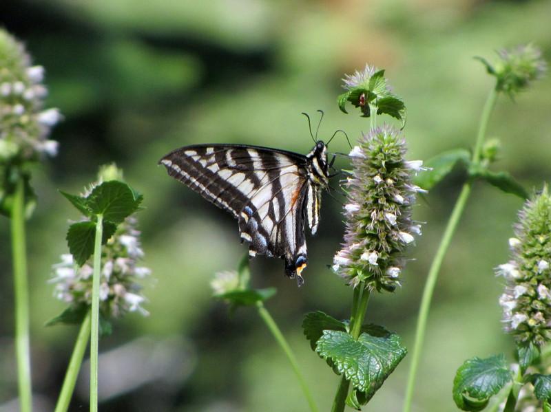 Papilio eurymedon, Pale Swallowtail ( Bigelow Lakes Trail, Oregon Caves National Monument)