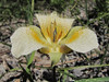 Calochortus subalpinus (just on road to Timberline Lodge, from road 26, Mount Hood, Oregon)