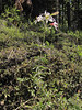 Lilium washingtonianum (along road to Cloud Cap Campground, Mount Hood)