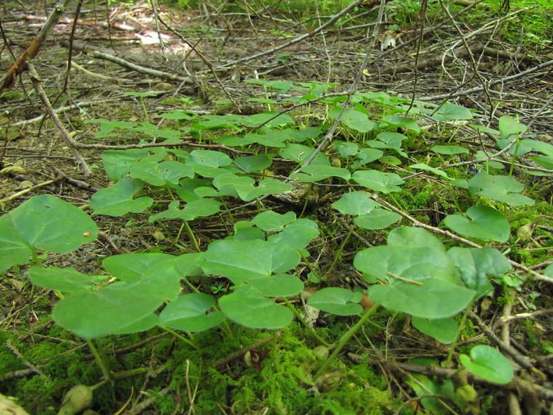 Asarum caudatum (Lost Creek Campsite near Mt. Hood, Oregon)