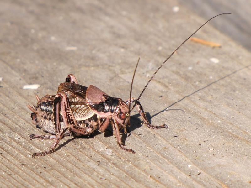 Grasshopper,Lost Creek Campsite in Crater Lake National Park