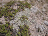 Antennaria spec. (Mountaineer Trail, Mount Hood, Oregon)