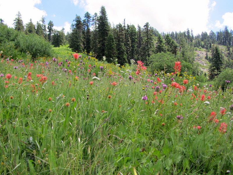 Wildflower meadow with Castilleja miniata? (Bigelow Lakes Trail, Oregon Caves National Monument)