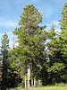 Pinus contorta (along road to Cloud Cap Campground, Mount Hood)(photo Kees Jan)