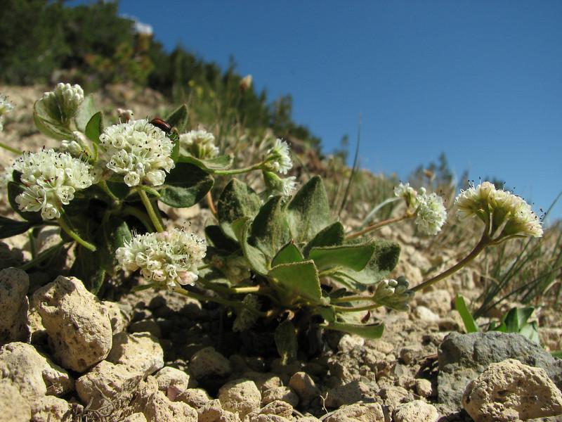 Eriogonum pyrolifolium, Mount Scot 2721m) highest point in Crater Lake National Park