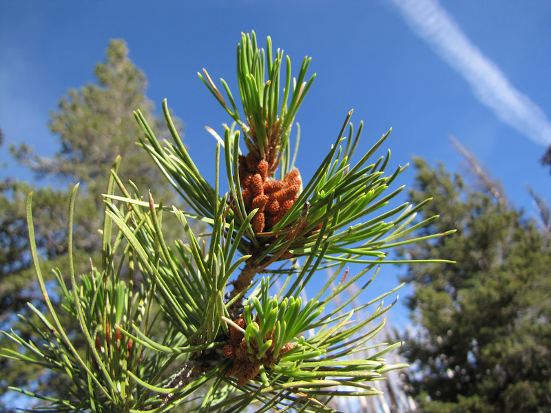 Pinus contorta (two needles)(along road to Cloud Cap Campground, Mount Hood)