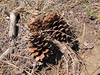 cones of Pinus ponderosa (south of Masama Village, Oregon)