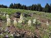 Lupinus spec. (between North Entrance and Caldera Rim of Crater Lake National Park)