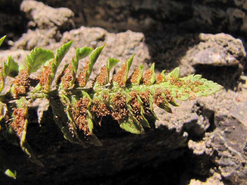 fern?? Crater Lake National Park