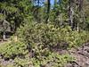 Arctostaphyllos spec. (Along road to lost Creek Campsite, near Mt. Hood, Oregon)