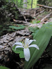 Clintonia uniflora (Bigelow Lakes Trail, Oregon Caves National Monument)