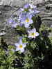 Polemonium pulcherrimum (Mount Scot 2721m) highest point in Crater Lake National Park)