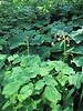 Vancouveria hexandra (Big Tree Trail, Oregon Caves National Monument)