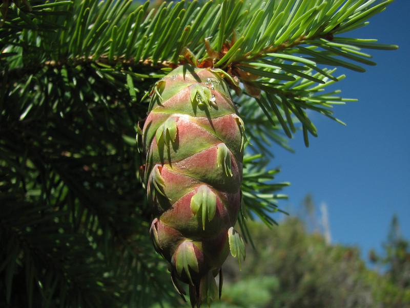 cones of Pseudotsuga menziesii, douglas-fir,  ridge Mount Elijah 1900m (Caves National Monument, Oregon)(photo Kees Jan)