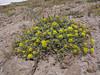 Eriogonum umbellatum? (Mountaineer Trail, Mount Hood, Oregon)