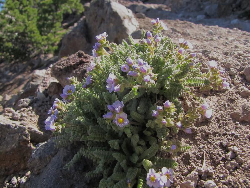 Polemonium pulcherrimum, Mount Scot 2721m) highest point in Crater Lake National Park