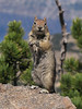 Spermophilus lateralis, Golden-mantled Ground Squirrel, Mount Scot 2721m) highest point in Crater Lake National Park