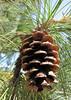 Pinus ponderosa (south of Masama Village, Oregon)