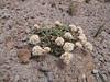 Calyptridium umbellatum (Mountaineer Trail, Mount Hood, Oregon)