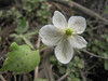 Anemone deltoidea or oregana? (along road to Cloud Cap Campground, Mount Hood)