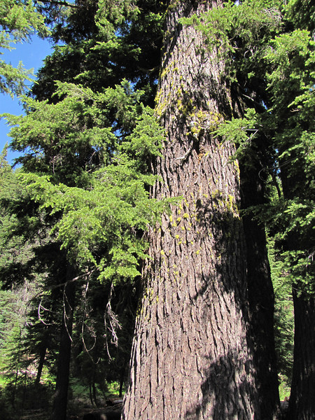Tsuga mertensiana, (Wildflower Trail, Castle Crest Wildflower Garden, Crater Lake National Park, Oregon)