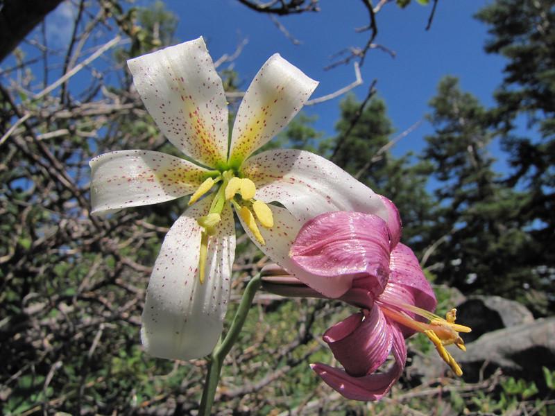 Lilium washingtonianum, ridge Mount Elijah 1900m (Caves National Monument, Oregon)
