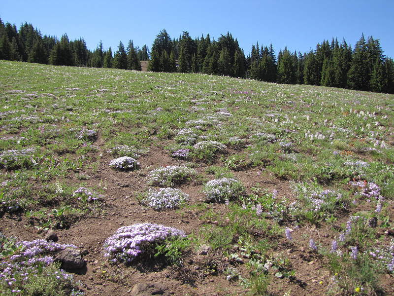 Phlox diffusa (between North Entrance and Caldera Rim of Crater Lake National Park)