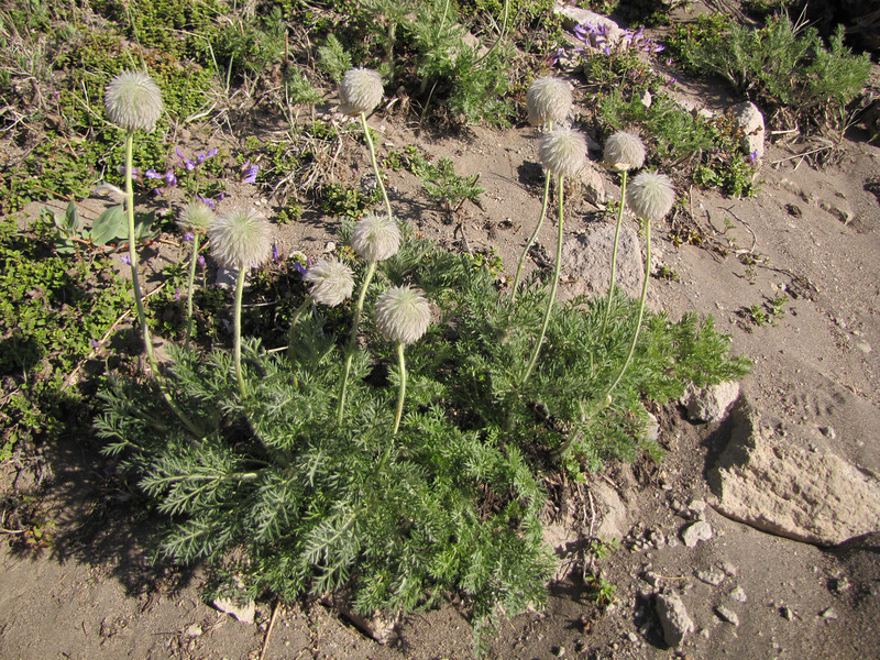 Anemone occidentalis in seed (Near the Watchman 2442m, Crater Lake National Park, Oregon)