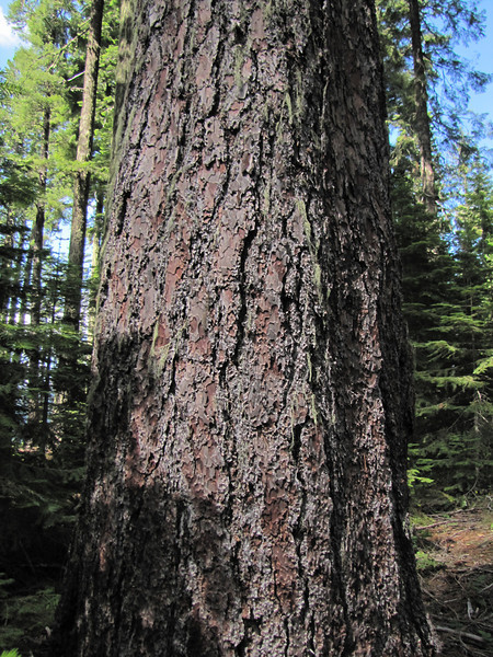 Pinus lambertiana, Suger Pine (Big Tree Trail, Oregon Caves National Monument)