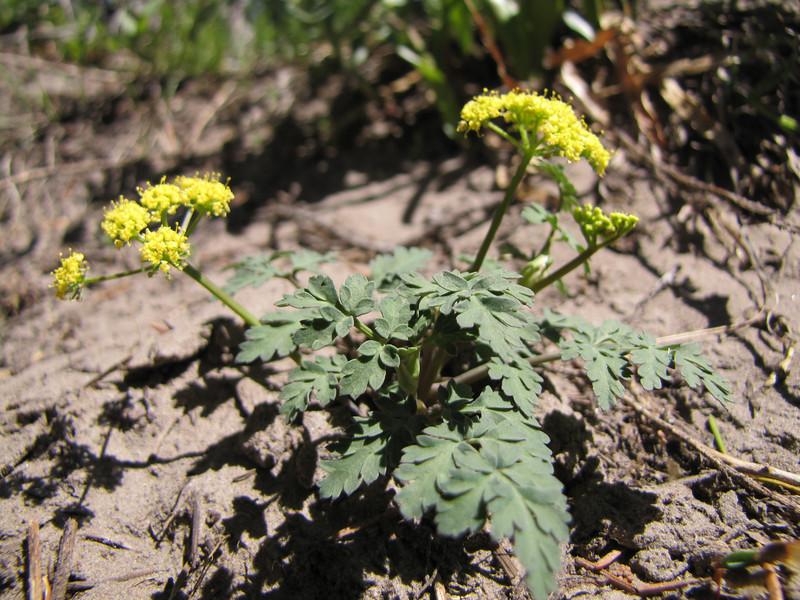 Lomatium martindalei (Mountaineer Trail, Mount Hood, Oregon)