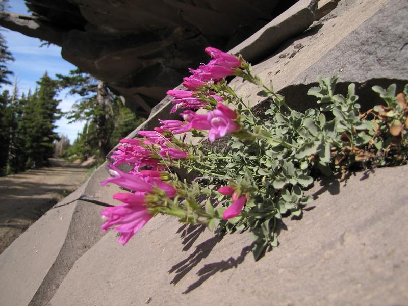 Penstemon rupicola, Rock Penstemon (along road to Cloud Cap Campground, Mount Hood)