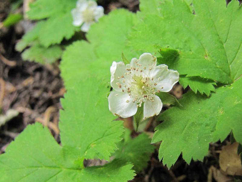 Rubus lasiococcus, Dwarf bramble, (Wildflower Trail, Castle Crest Wildflower Garden, Crater Lake National Park, Oregon)