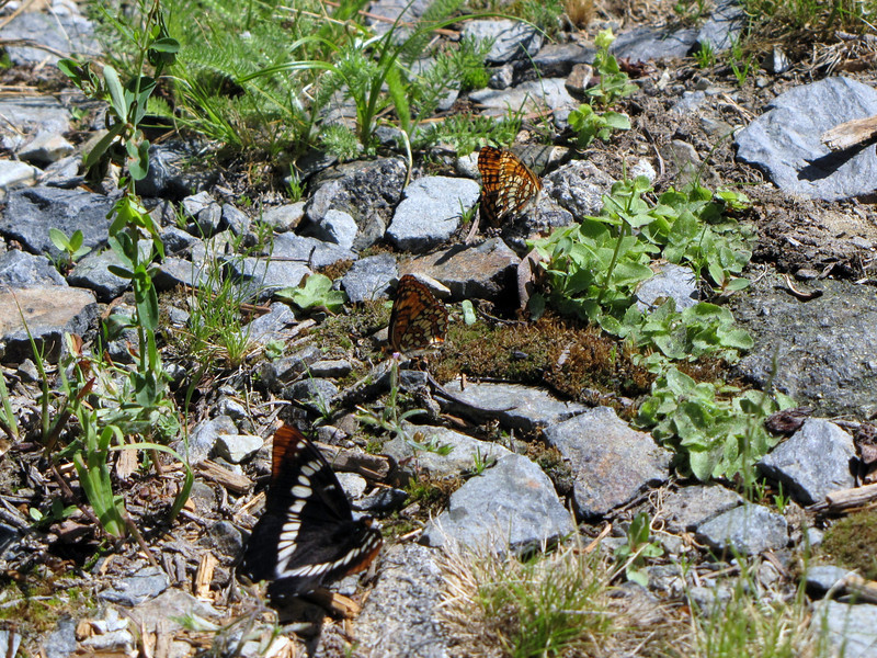 Lemenitis lorquini, Lorquin's Admiral and Chlosyne hoffmanni, Hoffmann's Checkerspot (Trailhead Bigelow Lakes, Oregon Caves National Monument)