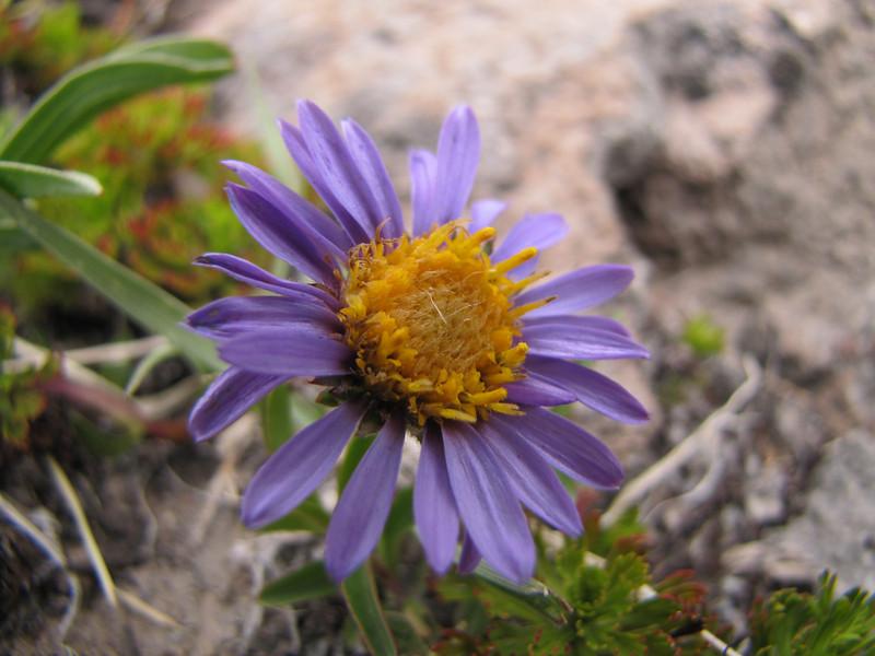 Aster alpigenus var. alpigenus? (Mountaineer Trail, Mount Hood, Oregon)